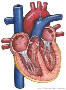 Sydämen anatomia / Lääkisvalmennus