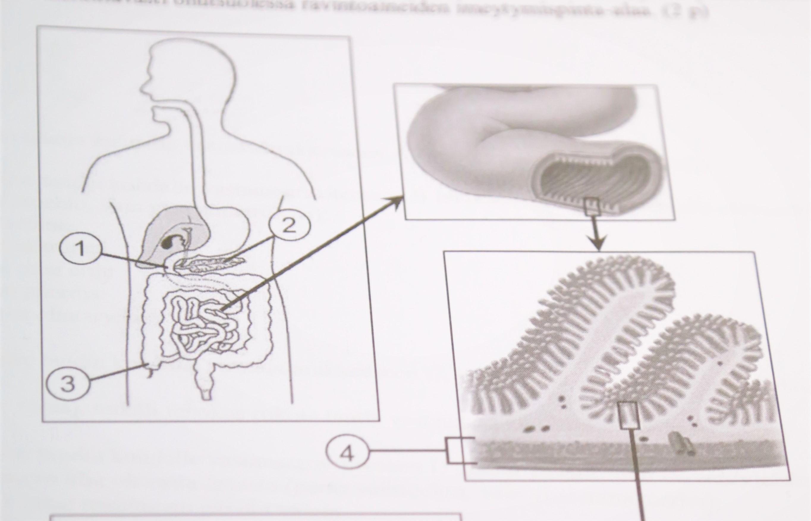 Biologiassa kysyttiin vuoden 2019 lääkiksen pääsykokeessa poikkeuksellisen paljon anatomiaa.